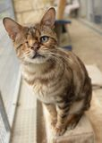 One Eyed Cat Bengal. One eyed bengal cat found as a stray at an animal rescue centre, waiting to be adopted Stock Photos