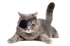 One-eyed cat. Gray british cat in pirate costume with eye patch on white background royalty free stock photo