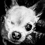 One eyed Chihuahua peers into the camera. Black and White close up of a small dog, one eye Stock Photos