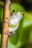 One Eyed Cope's Gray Tree frog. Royalty Free Stock Image
