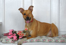 One-eyed dog Stock Photos