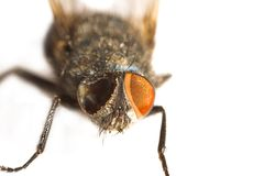 One-eyed Fly Royalty Free Stock Images
