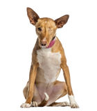 One-eyed Ibizan Hound (2 years old). Isolated on white Stock Image