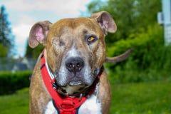One Eyed Jack the pitbull rescue stock photo