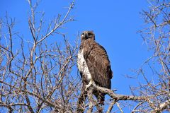 One-eyed Martial Eagle, looking for its prey stock photos