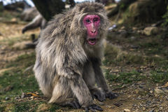 One eyed monkey in Kyoto, Japan. Macaca fuscata with one eye in Kyoto, Japan royalty free stock image