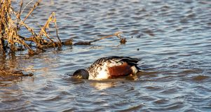 One Eyed open Northern Shoveler Duck royalty free stock photography