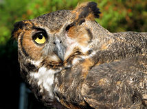 One-Eyed Owl. An one-eyed horned owl at an animal rehab center Stock Images