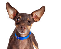 One-eyed Small Dog on White Royalty Free Stock Images