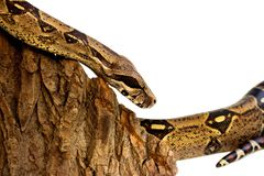 One-eyed snake boa constrictor slides on a wooden piece. visible damaged blind eye. Isolated on a white background. One-eyed snake boa constrictor slides on a stock image
