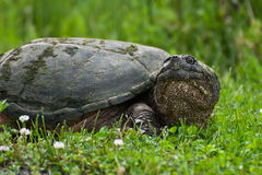 One-eyed Snapping Turtle. One-eyed female snapping turtle coming on land to lay eggs Stock Photos