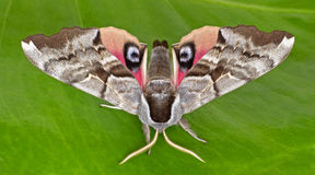 One-eyed Sphinx Moth Stock Photo