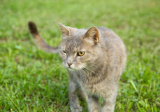 One eyed winking gray cat Royalty Free Stock Images