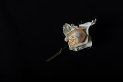 One faded rose. Faded roses on black background Royalty Free Stock Images