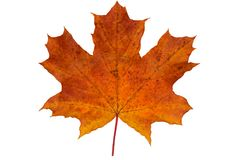 One fallen maple leaf. On white background royalty free stock photos