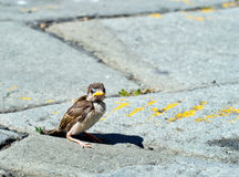 One fallen sparrow in street. Biblical parable or metaphor maybe Stock Photos