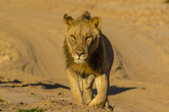 One of the famous brothers of the Haonib. Desert adapted lion (Panthera leo Stock Photos