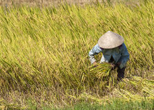 One farmer mows with sickle ripe rice stalks in the field. Stock Images