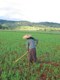 One farmer woman working. In a ricefield - Kalaw - Myanmar Stock Images