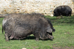 One fat dark black pig Royalty Free Stock Image