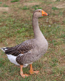 One fat greylag goose  in the animal farm Royalty Free Stock Image