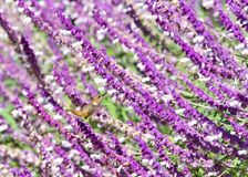 Allen`s Hummingbird in Mexican Bush Sage flowers stock photography