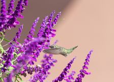 Anna`s Hummingbird hovering in Mexican Bush Sage Flowers royalty free stock photography