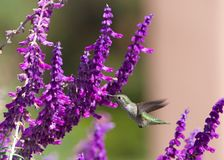 Anna`s Hummingbird drinking nectar from Mexican bush sage flowers stock image