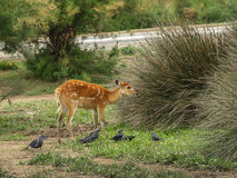 One female deer and few pigeons . Royalty Free Stock Images