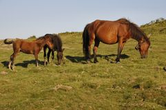 One female horse with her two foals Royalty Free Stock Photography