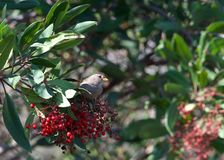House sparrow perched in a berry bush, eating Stock Photos
