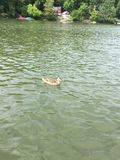 One Female Mallard Duck Swimming In A Lake. One female Mallard Duck is seen swimming on a lake. Lakefront house with boathouse, many green deciduous trees and Stock Photography