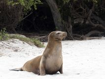 Female Sea Lion, Zalophus californianus wollebaeki, on the beach, San Cristobal, Galapagos, Ecuador. One Female Sea Lion, Zalophus californianus wollebaeki, on stock images