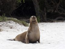Female Sea Lion, Zalophus californianus wollebaeki, on the beach, San Cristobal, Galapagos, Ecuador. One Female Sea Lion, Zalophus californianus wollebaeki, on royalty free stock photography