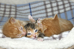 One female tortie torbie tabby kitten between two male orange tabbies. Three week old kittens on sheepskin and fluffy gray and blue stripped blanket. One female Royalty Free Stock Image