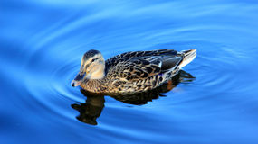 One  female wild duck swimming on blue lake. Easy natural life freedom and happiness of wild duck summer time in Germany Royalty Free Stock Photography