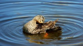 One Mallard Bathe In Natural Lake. Freedom Of Living. One female Wild duck Swimming On Natural Blue Lake Happiness And Freedom of wildlife In summertime.Germany royalty free stock image