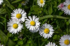 One among the few. In-focus daisy prominent among others. royalty free stock images