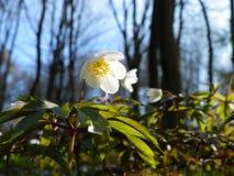 Wild-growing forest flower ` Anemone Nemorosa`. stock photos