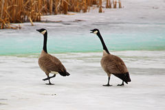One of the first sets of Canadian Geese returning in the spring Royalty Free Stock Image