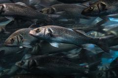 One fish in big fish swarm standing out of the crowd.  Royalty Free Stock Photo