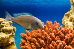 One fish floats in the aquarium red coral Royalty Free Stock Photos