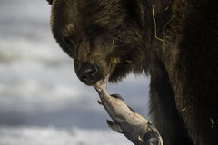 One fish sits all - Bear eating fish in mouth Stock Image