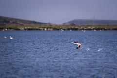 One flamingo bird running over the sea. Stock Image