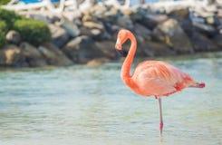 One Flamingo On The Beach Stock Image