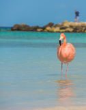 One Flamingo On The Beach Royalty Free Stock Photography