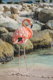 One Flamingo On The Beach Royalty Free Stock Images