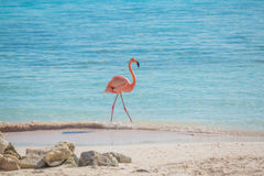 One Flamingo On The Beach Stock Images