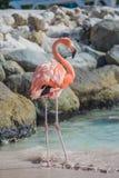 One Flamingo On The Beach Royalty Free Stock Photos