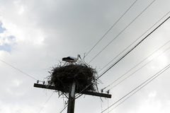 One, 1 fledgling, Hatchling wild storks sitting in nest against royalty free stock image